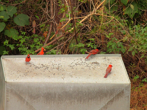 CrabAppleLane Cardinals - November 18, 2007