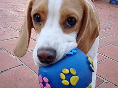 ...Quers jugar conmigo?....Want to play with me? (Betolandia) Tags: dog beagle cane mel perro lemonbeagle betolandia perrosdeargentina llovemypic