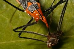 Assassin Bug Feast (MStarr79) Tags: sigma105mm milkweedassassinbug