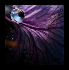 Flow (Jerrica Raglin) Tags: blue plant color macro wet water digital bravo purple drop sphere round droplet vein veins kale themoulinrouge eow golddragon anawesomeshot diamondclassphotographer flickrdiamond envyofflickr platinumheartaward thegoldenmermaid thegardenofzen excapturemacro llovemypic nikonflickraward