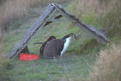 Yellow Eyed Penguin@Penguin Place