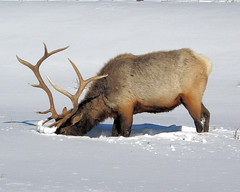 Bull Elk - Yellowstone (Dave Stiles) Tags: winter wildlife explore yellowstonenationalpark yellowstone elk stiles bullelk yellowstonewildlife naturewatcher theperfectphotographer ynpwinter2008