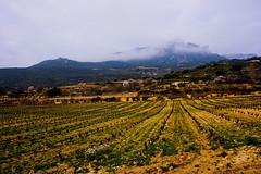 rioja vines