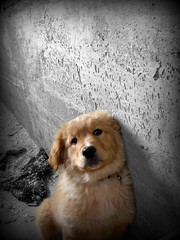 Gaia (*Tom [luckytom] ) Tags: tom goldenretriever gaia ctm favcol luckytom