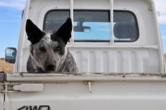 Ranch Dog (donegone) Tags: ranch dog nikon colorado aguilar d300 seizure 18200mm farmdogs