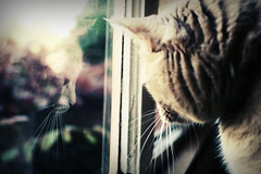reflecting (death and gravity) Tags: reflection window cat dof ebi thelittledoglaughed