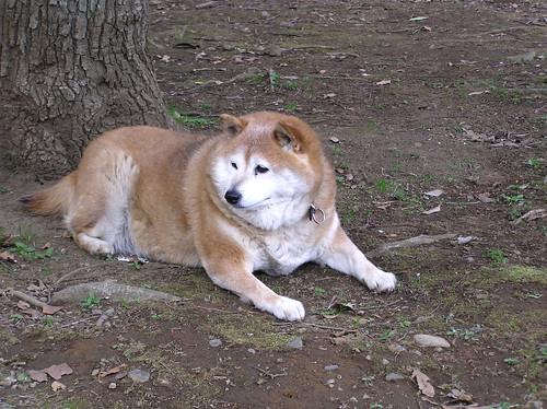 もさもさした柴犬
