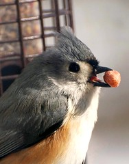 Bird - Tufted Titmouse Photo (blmiers2) Tags: newyork bird nature beautiful birds closeup geotagged nikon wildlife gray birdfeeder uccelli explore views peanut faves titmouse avian smallbirds tuftedtitmouse wildbirds baeolophusbicolor passeriformes backyardbirds paridae titmousebird birdpictures ttcu d40x titmousephotos tuftedtitmousephotos tuftedtitmousephoto tuftedtitmousephotographs titmousephoto picturesbirds blm18 blmiers2