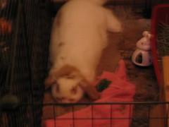 IMG_1189 (joandirk) Tags: rabbit cadbury lop hollandlop