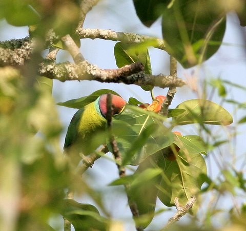 plum-headed parakeet in ficus figs