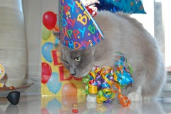 Heavy is the Head (whitefridaynight) Tags: birthday blue party hat cat ribbons mink silverado ragdoll mitted