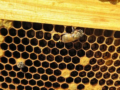 Baby-Bee #2