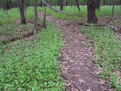 Endless garlic mustard