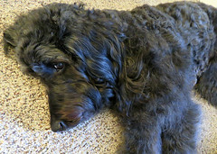 """I see you but I'm not moving - you really are  disturbing my nap!"" (Bennilover) Tags: dog dogs carpet sleeping bothered annoyed peeking labradoodle benni black naps cameras"
