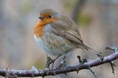 Robin (Shane Jones) Tags: robin bird gardenbird wildlife nature nikon d500 200400vr tc14eii