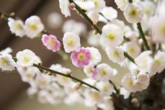 20170205長浜盆梅 輪違い4733 (K.masao) Tags: plumblossoms flowers nature japanmasaokatayama