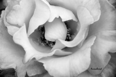 subscrevo ...  subscribing ... (@uroraboreal) Tags: portugal rose thoughts pensamentos corderosa naturesfinest mrioquintana auroraboreal1