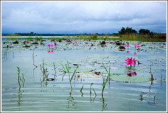 In the Land of Landscapes - VI [..Sylhet, Bangladesh..] (Catch the dream) Tags: travel pink blue sky flower reflection green nature water rural reeds landscape weeds waterlily lily ripple horizon bongo azure clarity wave clear bengal sylhet bangladesh bangladeshi waterreservoir nationalflower gettyimagesbangladeshq2