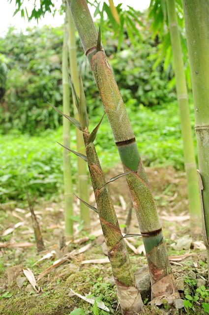 Bambusa longispiculata Gamble 長節竹