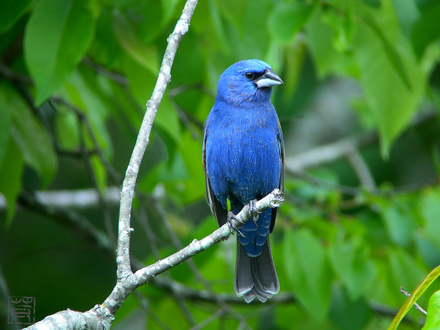 Male Blue Grosbeak, May 2011