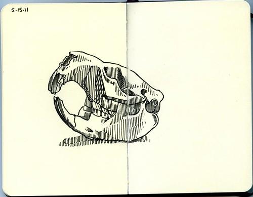 rodent skull
