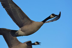 Goose Closeup DSC_8441 by Mully410 * Images