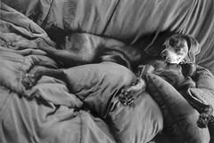 chanhi (saikiishiki) Tags: blue portrait bw dog white black love film k analog darkroom 35mm silver grey asahi pentax k1000 gray weimaraner analogue 犬 ilford 1000 ♥ weim greyghost gelatin bwfilm 可愛い squidoo blueweimaraner weimie silvergelatinprints chanhi weimaranerart ワイマラナー bwphotogragh handdevelopedfilm handdevelopedbwprint handdevelopedbwphotograph handdevelopednegative waimarana blueweim weimaranerartist weimaranerphotography weimaranerphotographer saikiishiki