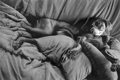 chanhi (saikiishiki) Tags: blue portrait bw dog white black love film k analog darkroom 35mm silver grey asahi pentax k1000 gray weimaraner analogue  ilford 1000  weim greyghost gelatin bwfilm  squidoo blueweimaraner weimie silvergelatinprints chanhi weimaranerart  bwphotogragh handdevelopedfilm handdevelopedbwprint handdevelopedbwphotograph handdevelopednegative waimarana blueweim weimaranerartist weimaranerphotography weimaranerphotographer saikiishiki