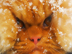 Garfi-Snowcat (E.L.A) Tags: family winter orange pet pets snow cute nature animal horizontal closeup cat turkey fur photography persian orangecat kitten feline kittens nopeople whisker kitties lovelovelove fullframe ideas domesticanimals garfield ankara domesticcat kedi gettyimages mylove stockimages garfi oneanimal pisi colorimage animaleye animalhead animalthemes coldtemperature oreengeness bestcatphotos differentcatbreeds