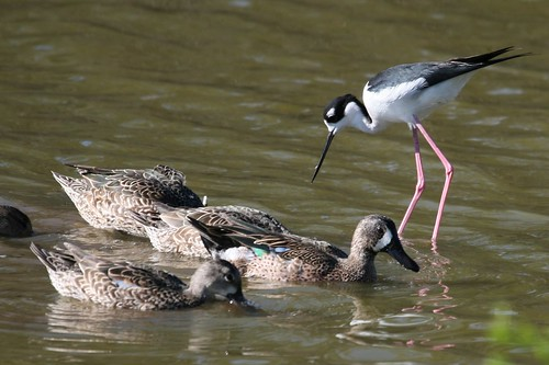 Black-necked Stilt and Blue-winged Teal