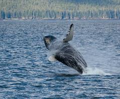 Whale Breach (BrightonJel) Tags: alaska whale breach anawesomeshot goldenheartaward