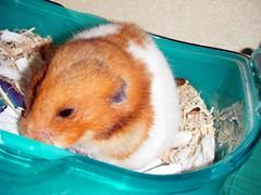 20080223 - 19 (kayako_) Tags: hamster pon