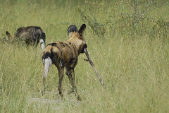 wild dogs with bone of baby impala