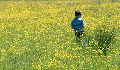 mellow yellow 2 (jodi_tripp) Tags: yellow vancouver wa wildflowers joditripp wwwjoditrippcom photographybyjodtripp