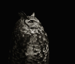 Bubo capensis (zeissizm) Tags: bw 20d monochrome animal eos is eagle owl cape f4 vita bubo 70200mm