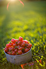 red balls of pure sweetness (HelenPalsson) Tags: grass tomato tomatoes 50mm14 flare cherrytomatoes thefarm 50mmf14 20080505