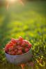 red balls of pure sweetness (HelenPalsson) Tags: grass tomato tomatoes 50mm14 flare cherrytomatoes thefarm 50mmf14 20080505