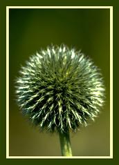 AH62_8271 (der_andyrandy) Tags: blumen flowers blüte macro makro canoneos7d grün garten