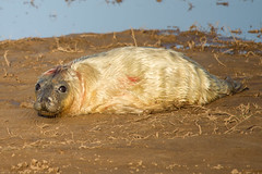 Another newborn cutie (Liz Liz Liz Liz) Tags: seal seaside sea pup baby newborn donnanook beach canon7d efs55250mmf456isstm
