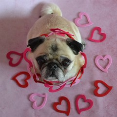 My Heart, Miss Bailey Puggins ♡ (DaPuglet) Tags: pug pugs dog dogs pet pets animal animals valentine heart love cute valentinesday hearts ruby3 sunrays5 coth coth5 clydesfriends