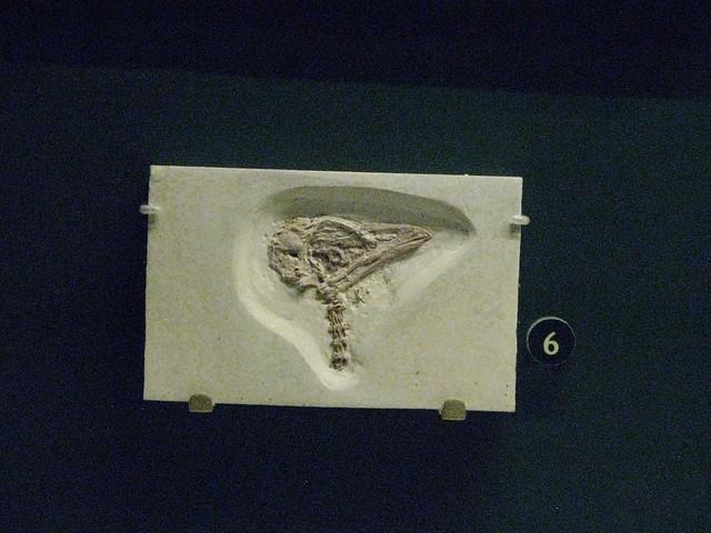 Eocene parrot skull