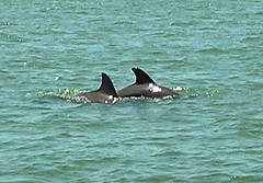 Two dolphins - by Donna62