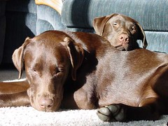 Chocolate Labs laying in the sun