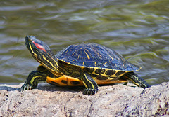 This is my good side (Peggy_G) Tags: park nature water yellow rock turtle exotic wilderness mywinners