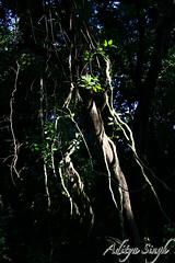 Noon sun in Sal forest (dickysingh) Tags: india nature outdoor wildlife aditya wilderness sal singh dicky dudhwa dudwa adityasingh dickysingh ranthamborebagh theranthambhorebagh salforest projecttigerreserve wwwranthambhorecom