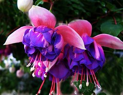 Fuchsia 'Brookwood Joy' (pennyeast) Tags: pink friends plant flower macro home nature garden southafrica botanical basket joy fuchsia capetown double explore trailer plantae mygarden westerncape onagraceae brookwood naturesfinest blueribbonwinner top20flowers supershot flowerscolors flowerotica mywinners superbmasterpiece diamondclassphotographer flickrdiamond citrit empyreanflowers theboldflower macromarvels papaalphaecho brookwoodjoy myfuchsia