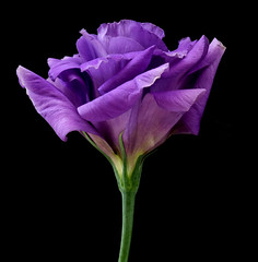 Lisianthus (Vanda's Pictures) Tags: flower searchthebest petal vanda excellence lisianthus 1on1flowers 1on1macro masterphotos blueribbonphotography