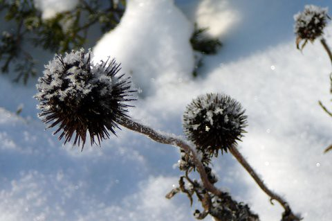 Coneflower in Snow