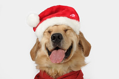 O.K. Just One More (Back in the Pack) Tags: christmas red portrait dog calgary dogs smile hat tongue scarf goldenretriever puppy nose head grin getty santahat winston gettyimages dogdaycare wwwdogdaycareca 40d tamron1750mmf28 eos40d wwwbackinthepackca albertabarks