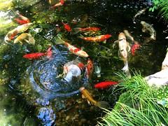 Pond Dancer (Pandorea...) Tags: atlanta reflection water garden pond williams koi gardentour